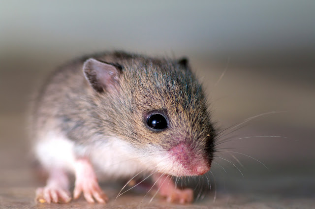 Cara mengusir tikus pada tanaman padi dengan ramuan alam