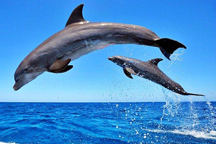 Yunus balığı dünyadaki en zeki canlı türlerinden biri olarak bilinmektedir.