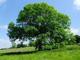 जरूरत के समय धन प्राप्ति के लिए बरगद के पेड़ का उपाय, bargad ke ped ka totka. bargad ke ped ki jata ke upay