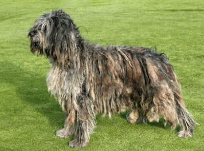 Bergamasco Sheep Dog
