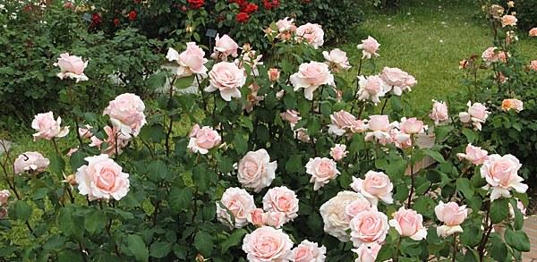 Roberto Capucci сорт розы Барни фото описание отзывы купить саженцы Минск