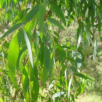 Prima Fleur Botanicals: Prima Fleur Essential Oil: EUCALYPTUS