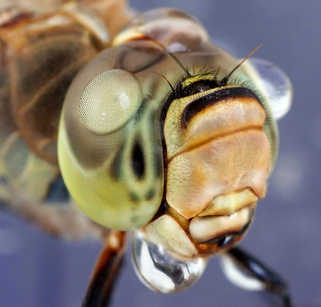 έντομα
