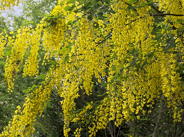 Close up of blossom heavy branches of Laburnum