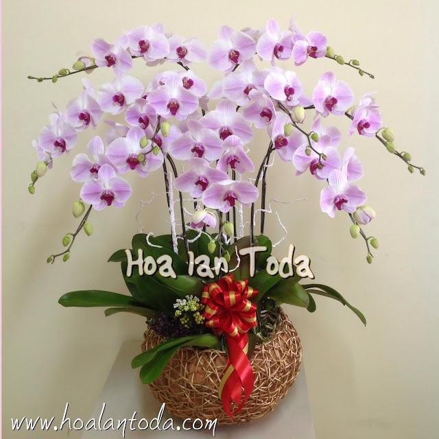 Hoa lan hồ điệp hồng chậu 9 cành