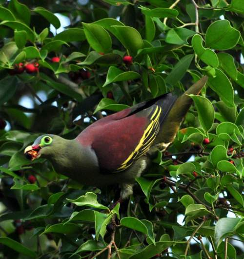 Indian birds - Picture of Thick-billed green pigeon - Treron curvirostra