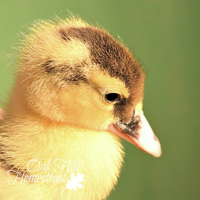 Pied Muscovy duckling