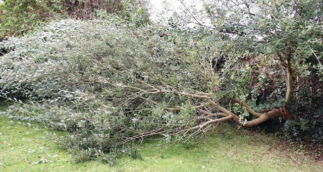 pihalle kaatunut puu