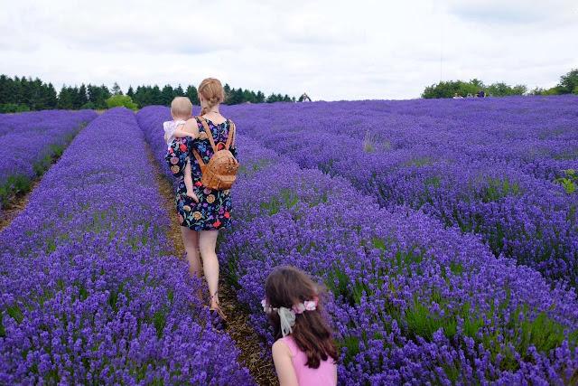 cánh đồng hoa oải hương đẹp nhất thế giới 4