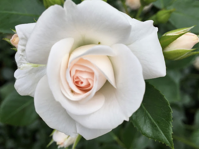 weisse Rose im Werkhof