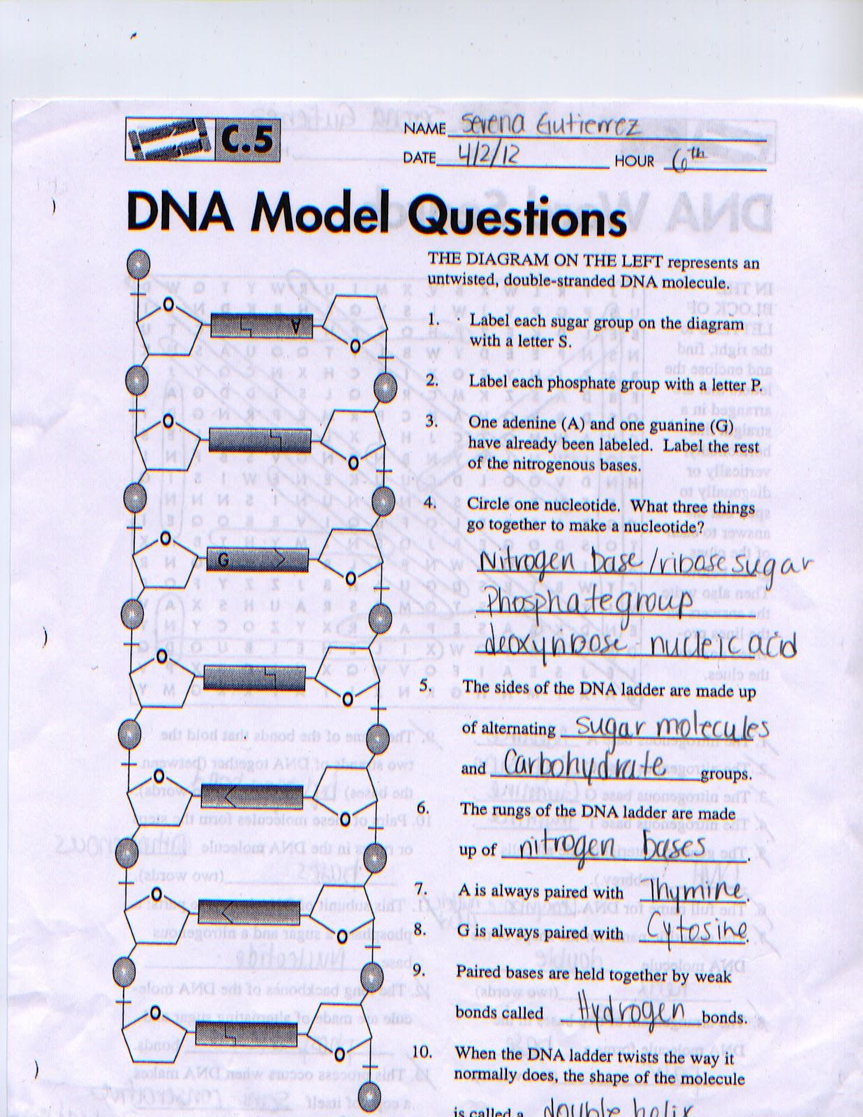 dna diagram worksheet 2000 ford windstar wiring diagrams biology