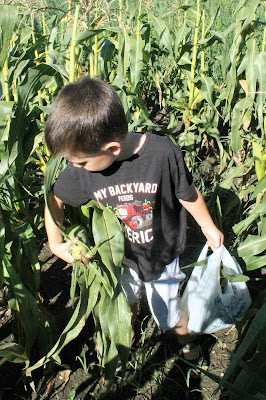 Picking Sweet Corn - Throw a Sweet Corn Party with Easy Freezer Sweet Corn recipe #FarmersMarketWeek