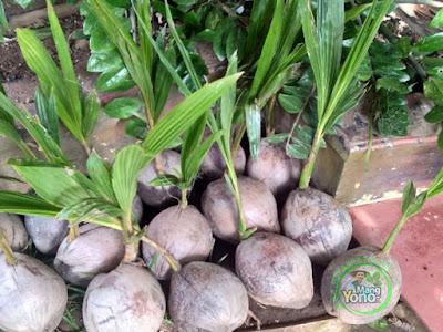 Sukari / Ibnue Compreng, Subang   Pembeli Bibit Kelapa Kopyor Genjah 4 Bibit dan Durian Musangking kaki tiga 4 bibit