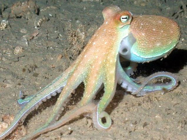 El pulpo tiene seis brazos y dos patas