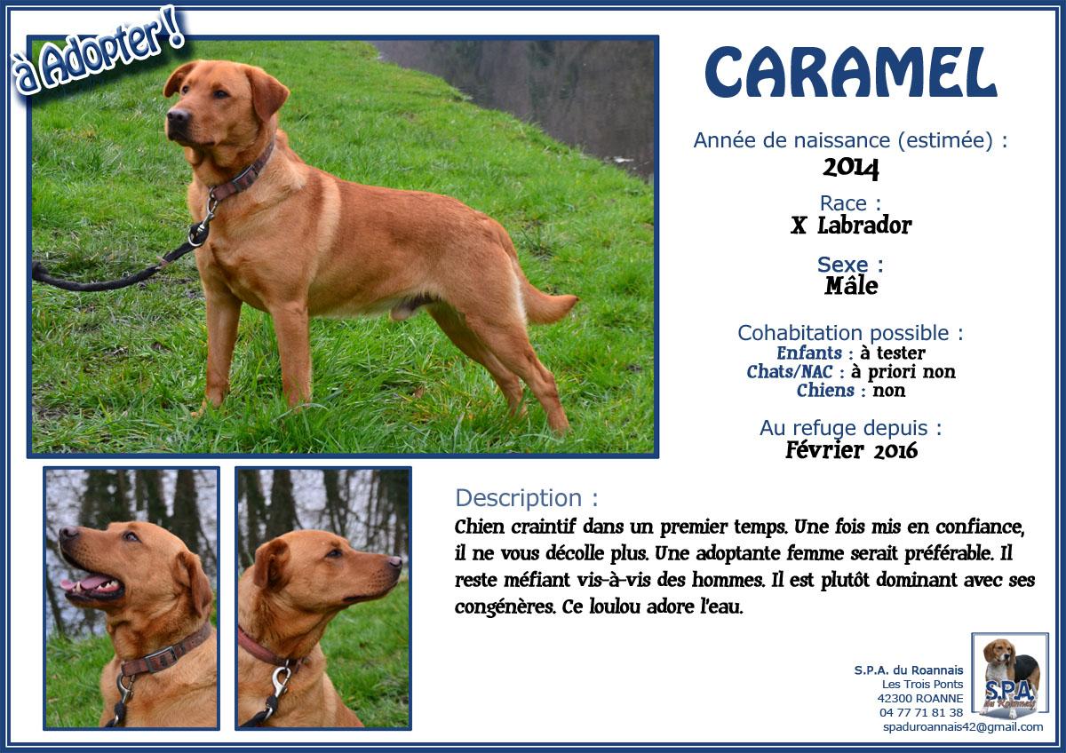 CARAMEL - x labrador fauve 4 ans - Spa du Roannais à Roanne (42) 1-2016-02_CARAMEL-2014