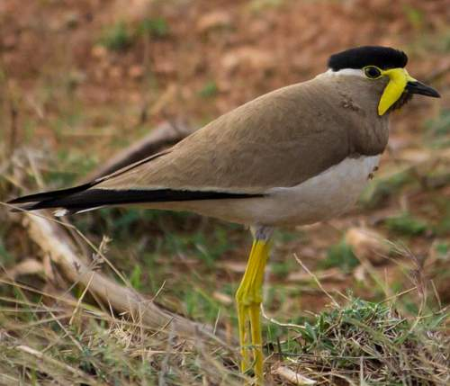 Indian birds - Image of Yellow-wattled lapwing - Vanellus malabaricus