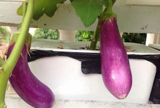 Eggplant Hydroponics