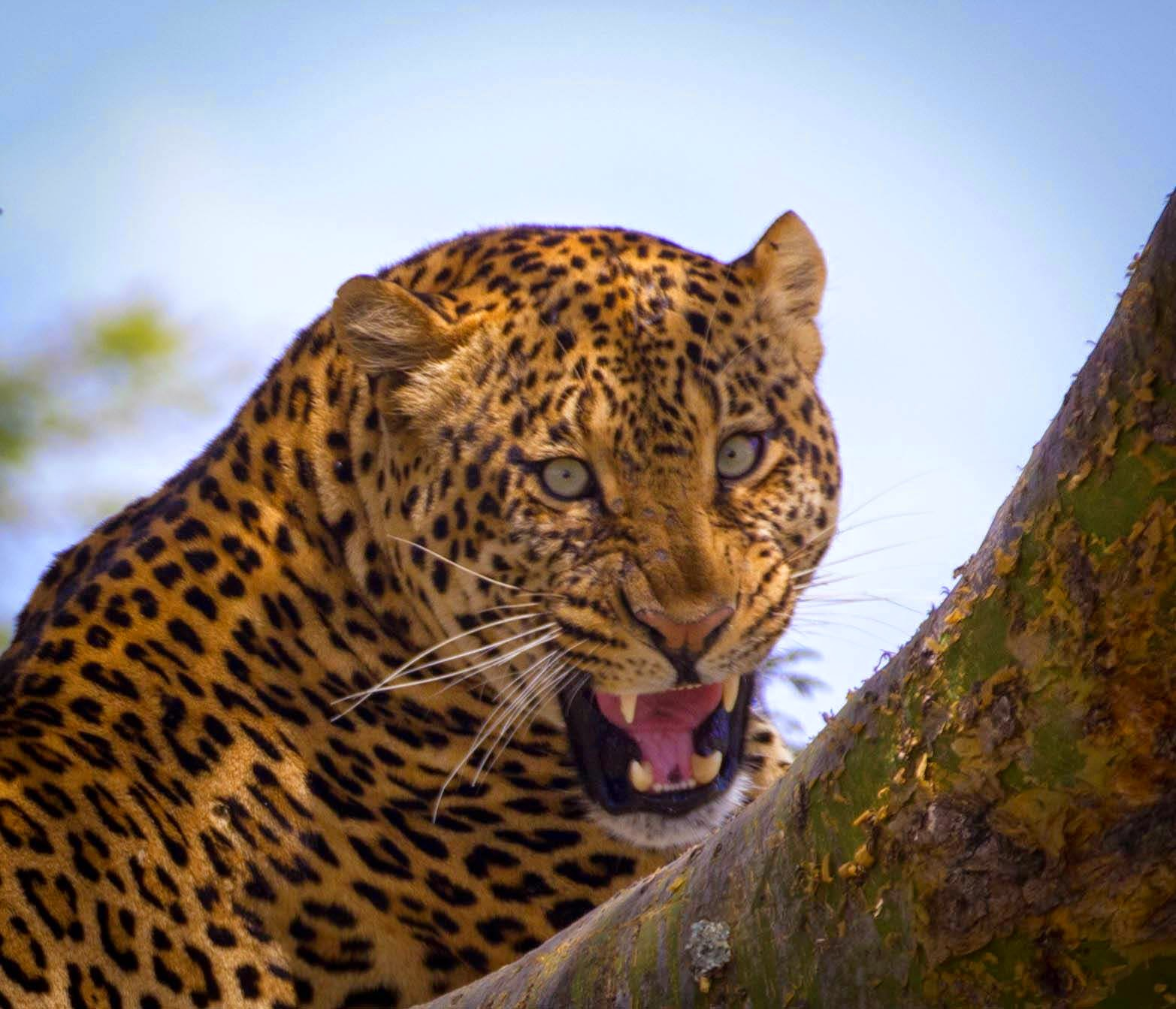 Leopard Growl: Istoria Ministries Blog: The Eye Of The Leopard And The