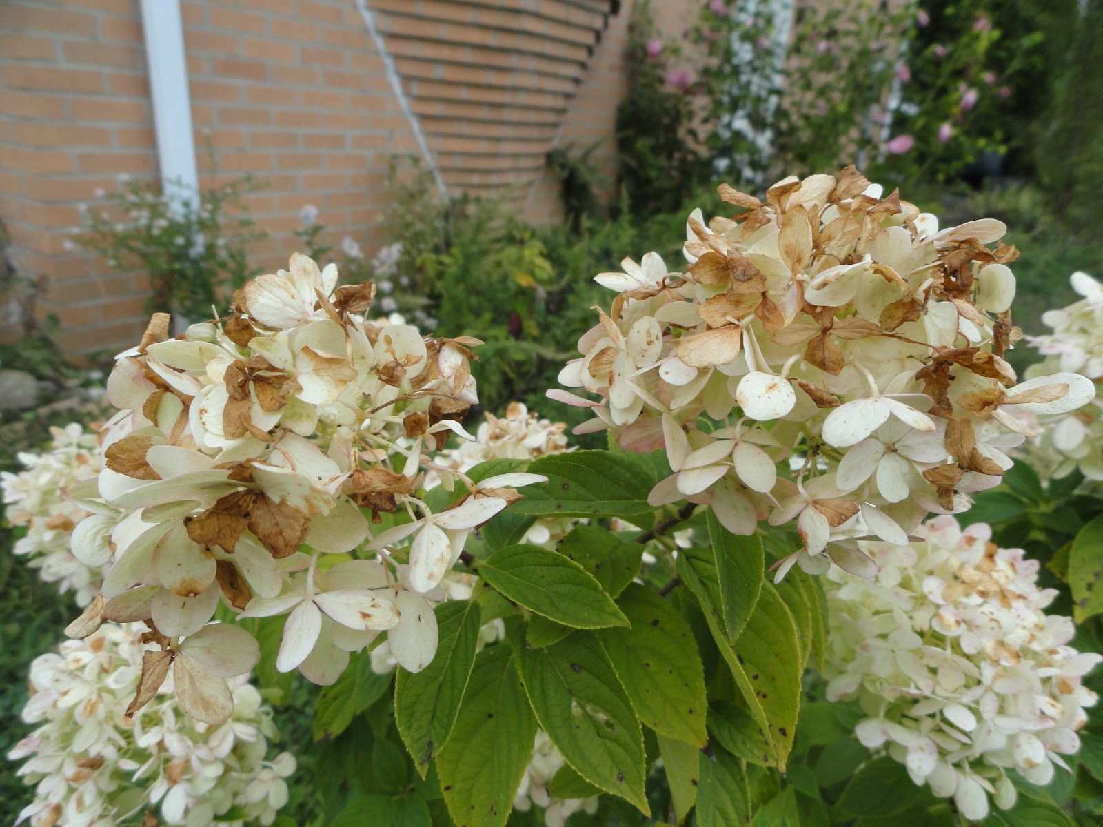 Why Are My Hydrangea Flowers Turning Brown