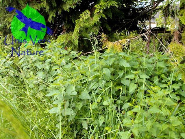 Unis vers nature l 39 ortie une plante sauvage multi usage for Plante ortie
