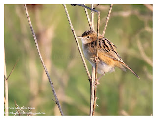 https://bioclicetphotos.blogspot.fr/search/label/Cisticole%20des%20joncs%20-%20Cisticola%20juncidis