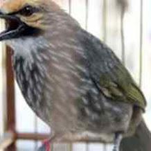 Cara Mengatasi Burung Cucak Rowo Yang Mematuki Telur