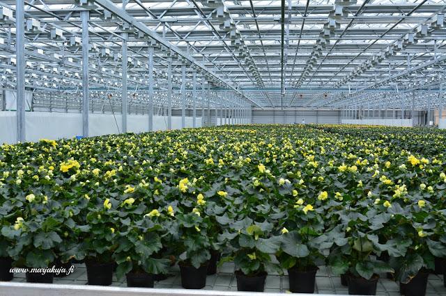 kauppapuutarha kasvihuone begonia