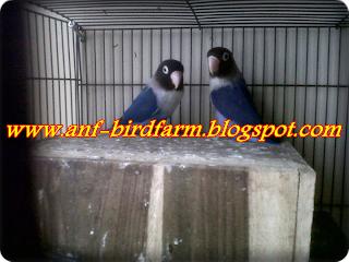 Anf Bird Farm Penangkaran Burung Berkicau Menjual Berbagai Jenis Burung Berkicau Kualitas Ok Lovebird Dakocan Biru