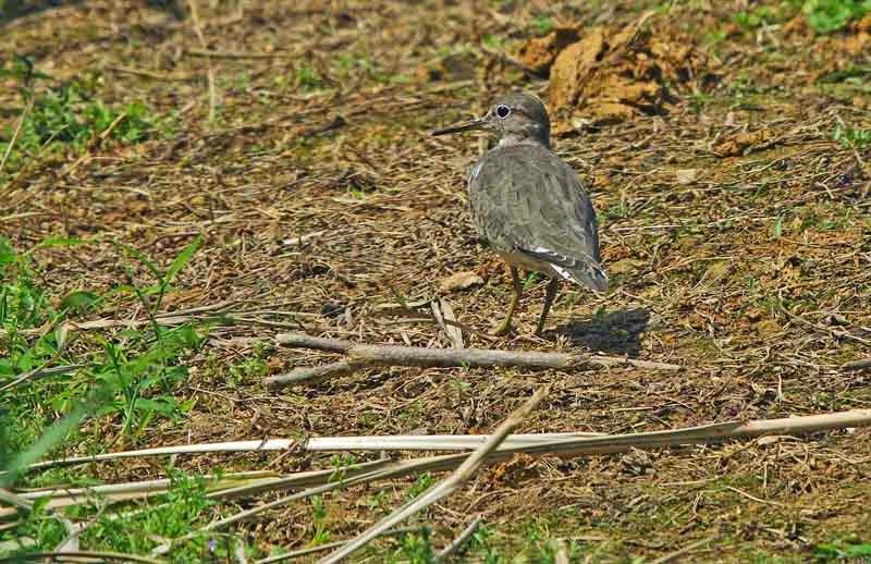 bird,Sandpiper,marshlands,Okinawa