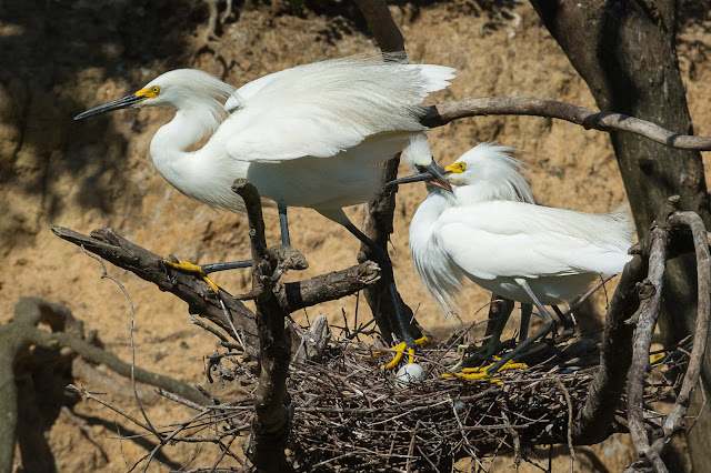 Snowy Egret Adults and Baby, Smith Oaks Sanctuary