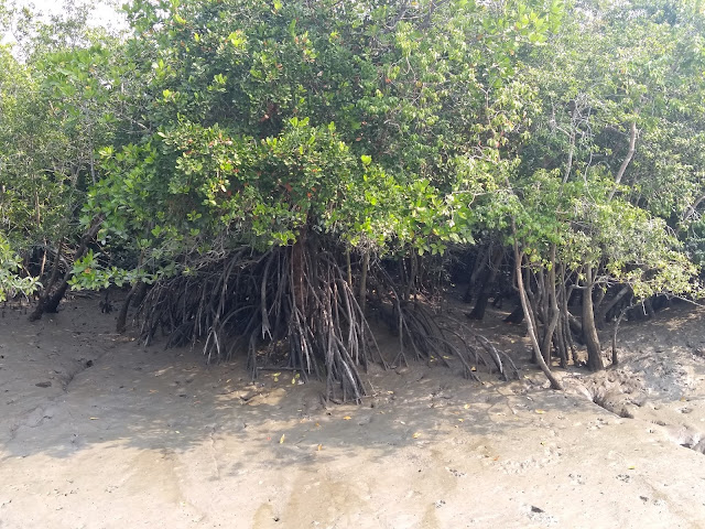 Sunderbans, Mangroves, stilt roots