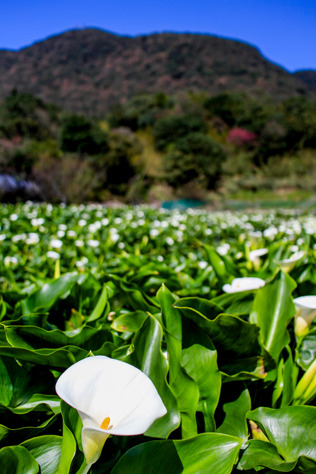 picking cala lilies in Yangmingshan // Zhuzihu Village