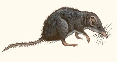 Карликовая белозубка (Suncus etruscus). Картинка рисунок насекомоядные животные