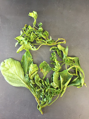 The terminal branches of a chile plant with leaf curling and deformity caused by a virus