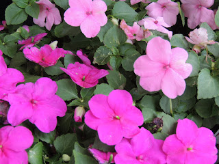 Lovely small flowers, 2 varieties of pink.