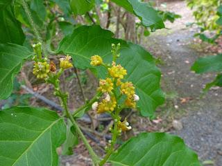 Bunchosie abricot - Bunchosie des Andes - Cerise des Antilles - Bunchosia armeniaca