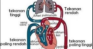 Alat Peredaran Darah pada Manusia: IPA Kelas 5 | BAHASKATA