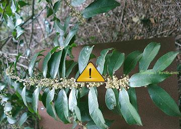 Contraindicações da Erva-de-bugre