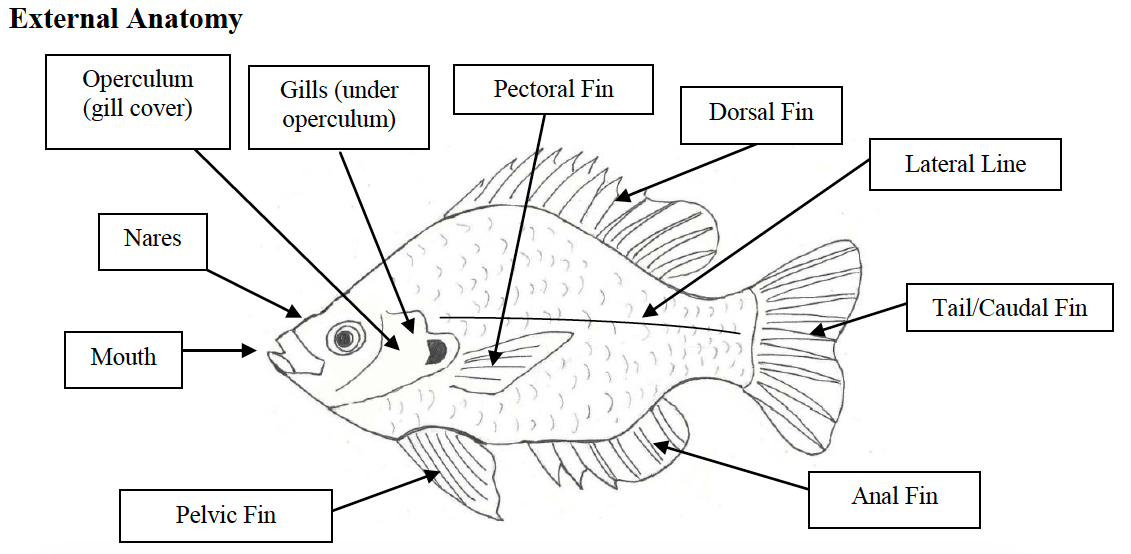 Учим учиться | Leading The Change: Fish Dissection. Lab Report