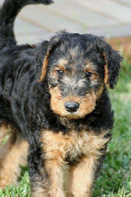 airedale terrier breeders puppy pictures and review 4009