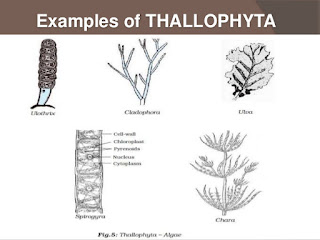Perbedaan Thallophyta dan Spermatophyta