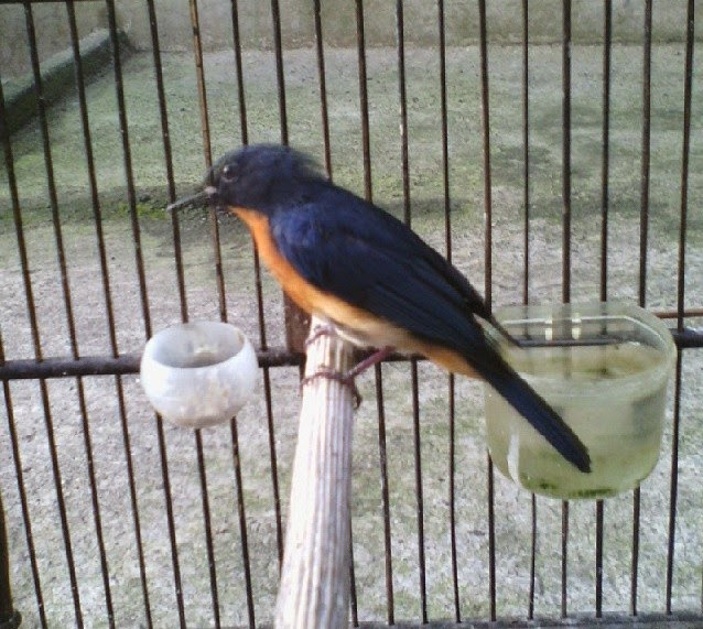 sangat menyukai masakan berupa serangga menyerupai Ulat Kandang Tips Agar Burung Tledekan Mau Makan Voer