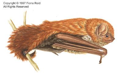 Murciélago boreal Lasiurus blossevillii