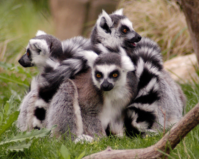 Lemur facts and information 7