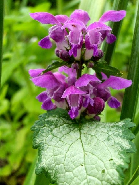 Varpukasvit