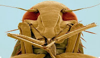 цикада обыкновеная