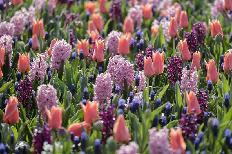 Tulipanes, narcisos y muscari