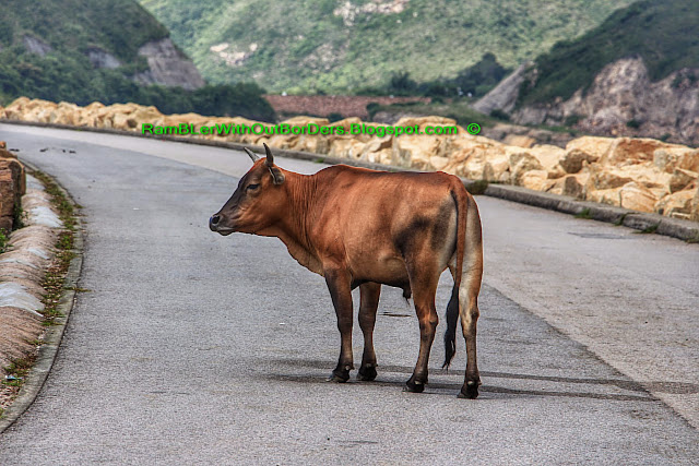 Cow in the middle of the road, Sai Kun Country Park, Hong Kong