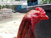 Perawatan Ayam Aduan Setelah Diadu Sangat Wajib