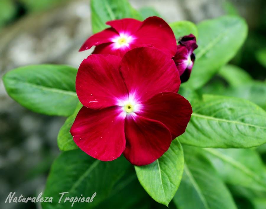 Variedad rojo vino de la flor vicaria, Vinca rosea o Catharanthus roseus